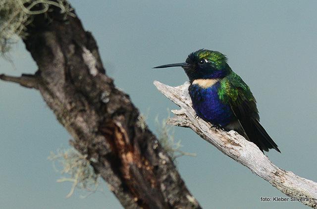 beija-flor-de-gravata-verde (Augastes scutatus), por Kleber Silveira