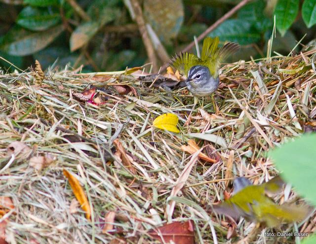 pula-pula-assobiador (Myiothlypis leucoblephara), por Daniel Esser